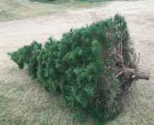 Christmas Tree Shopping Texan Style